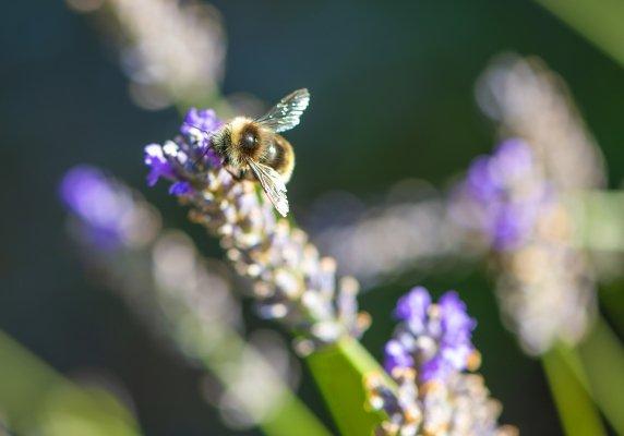 Bee happy Lavender plant
