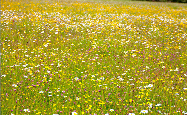 How to Create a Wildflower Meadow